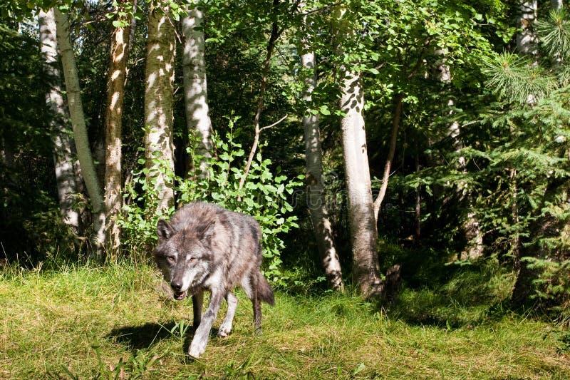 黑色狼 免版税库存图片