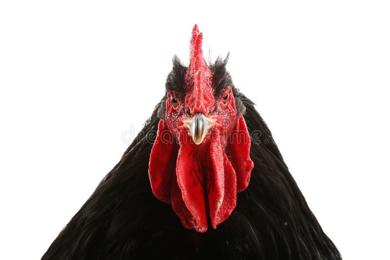 黑色科钦雄鸡 免版税库存照片