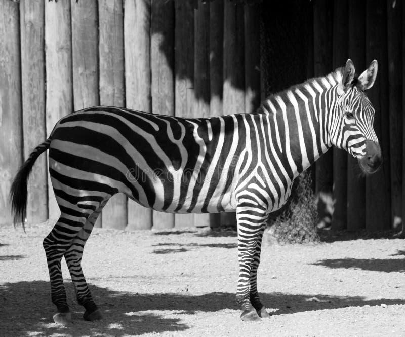 黑色空白斑马 免版税图库摄影