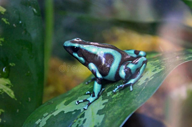 黑色箭青蛙绿色毒物 免版税图库摄影