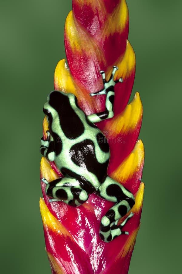 黑色箭青蛙绿色毒物 免版税库存照片