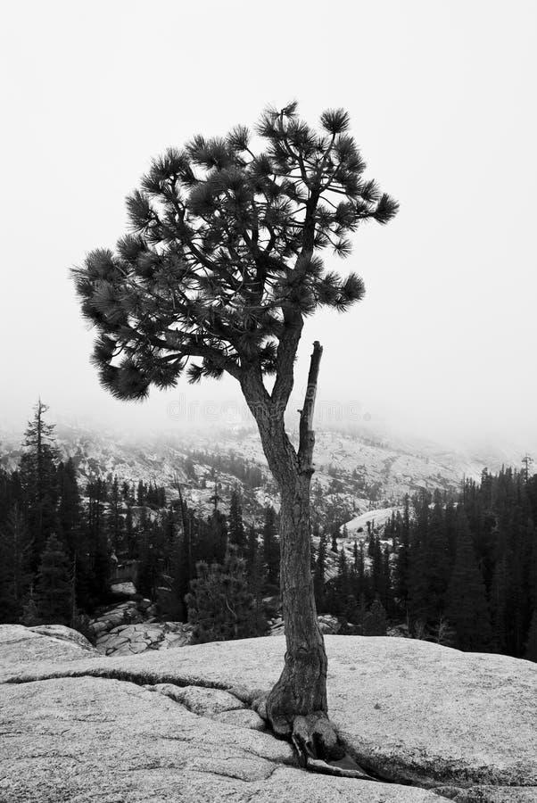黑色结构树白色 免版税库存图片