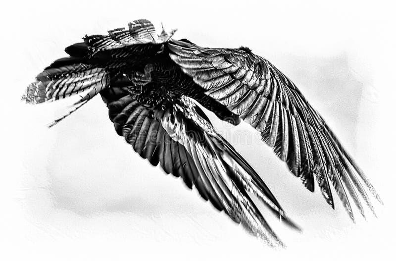 黑色美冠鹦鹉 库存图片