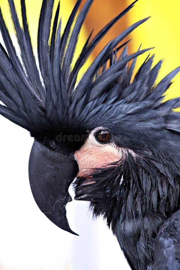 黑色美冠鹦鹉 图库摄影