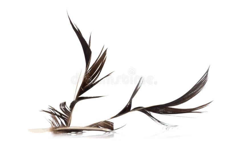 黑色羽毛 有缺陷 背景查出的白色 库存照片