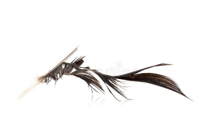 黑色羽毛 有缺陷 背景查出的白色 免版税图库摄影