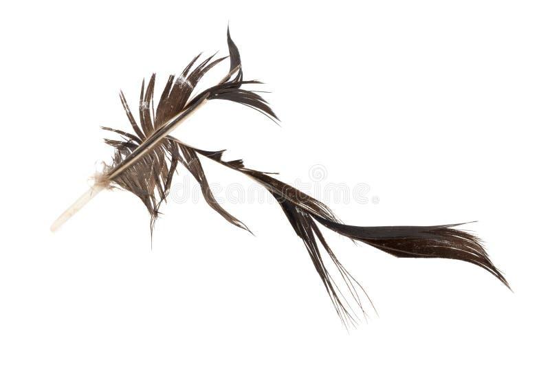 黑色羽毛 有缺陷 背景查出的白色 免版税库存照片