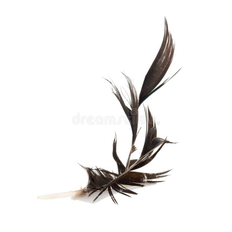 黑色羽毛 有缺陷 背景查出的白色 免版税库存图片