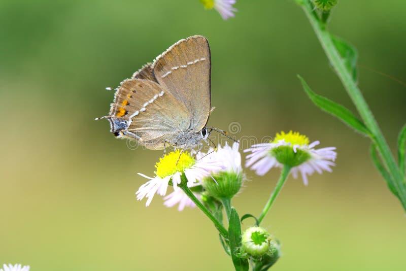 黑色翅上有细纹的蝶蝴蝶 免版税图库摄影