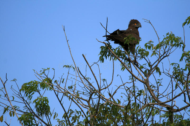 黑色老鹰,乌干达,非洲 图库摄影