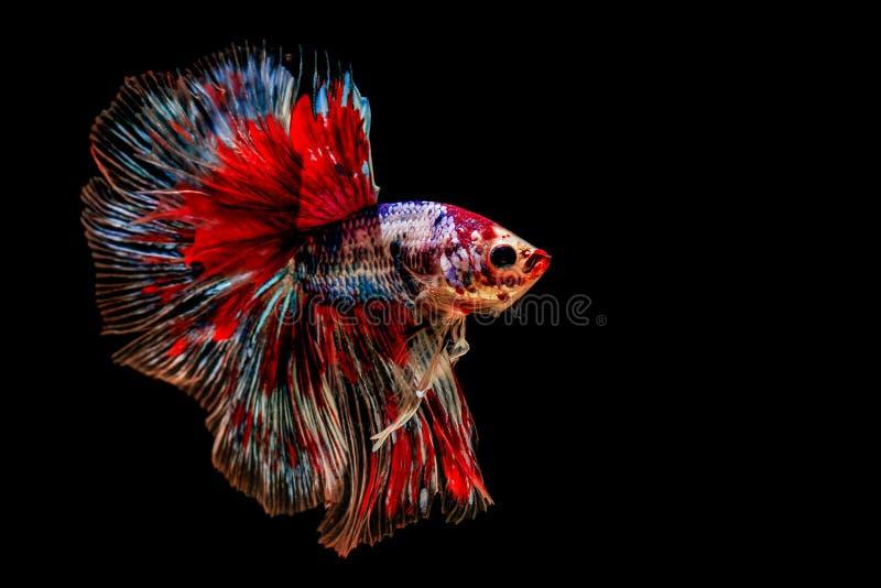 黑色背景上的彩色战斗鱼& x28;Betta鱼& x29; 免版税库存图片