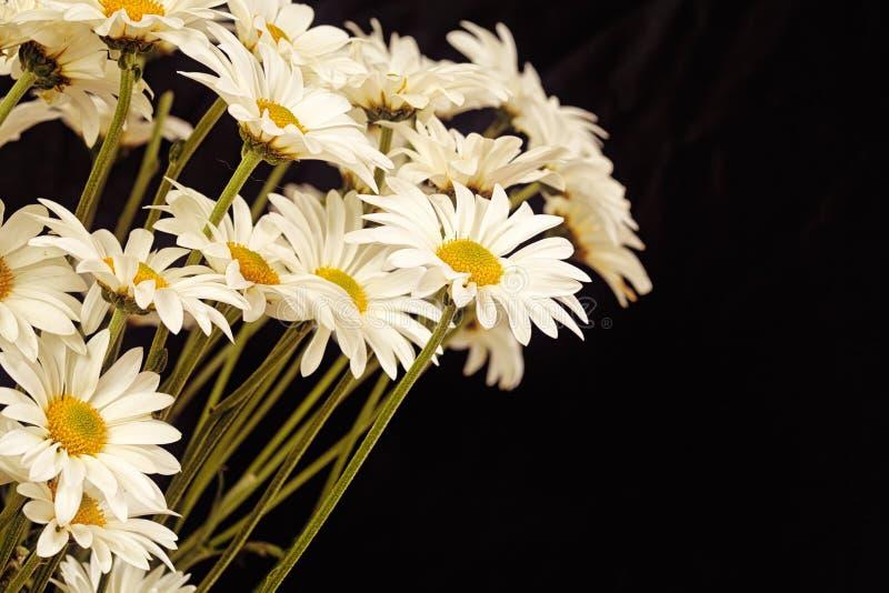 黑色背景中的白色雏菊 免版税图库摄影