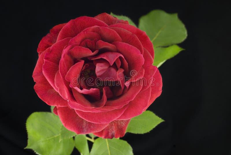 黑色背景的红色罗斯 免版税库存照片
