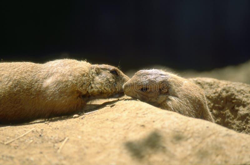 黑色草原犬鼠尾随被盯梢的ludovicianus大草原 库存照片