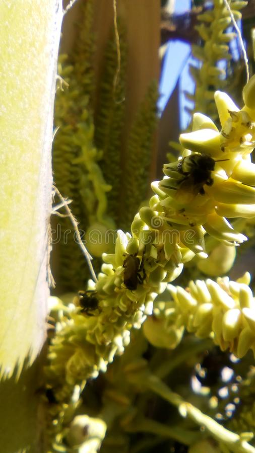 黑色蜜蜂 免版税库存图片