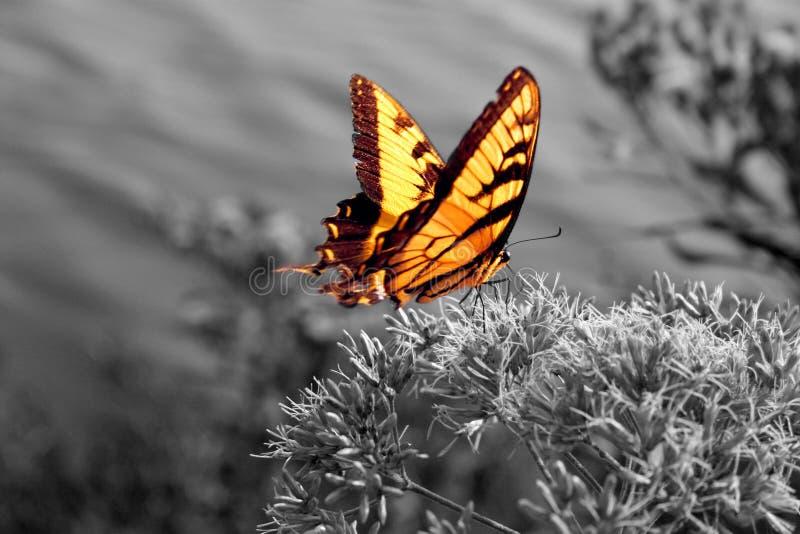 黑色蝴蝶充满活力的白色 免版税库存图片