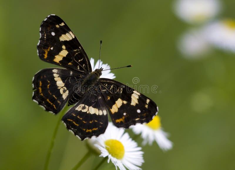 黑色蝴蝶映射 免版税库存照片