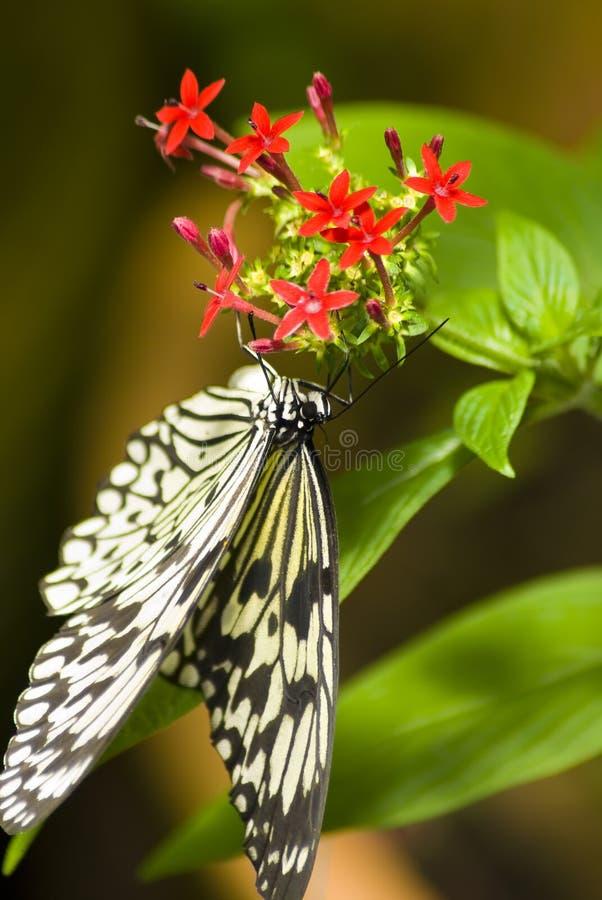 黑色蝴蝶白色 库存照片