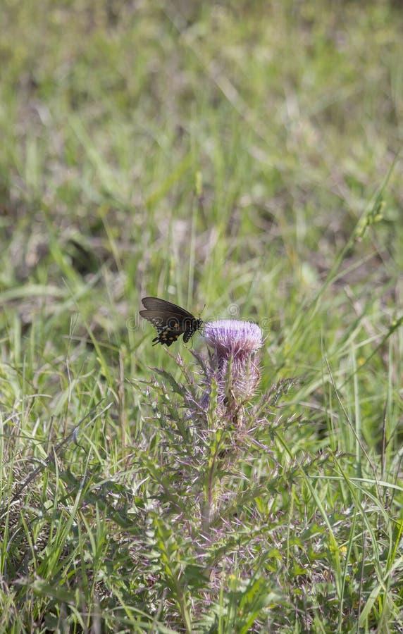 黑色蝴蝶swallowtail 免版税图库摄影