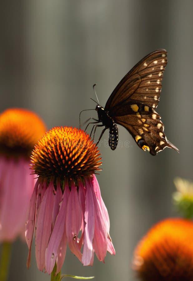 黑色蝴蝶swallowtail 图库摄影