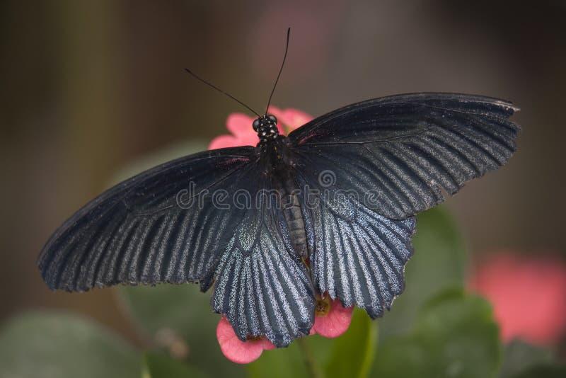 黑色蝶粉花粉红色白色 库存图片