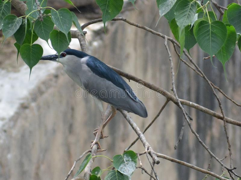 黑色被加冠的夜鹭属鸟 图库摄影