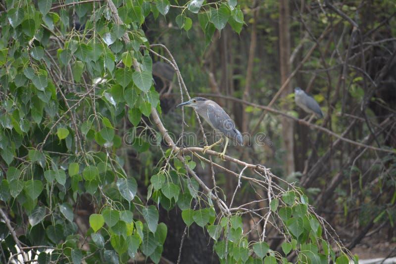 黑色被加冠的夜鹭属鸟 免版税库存图片