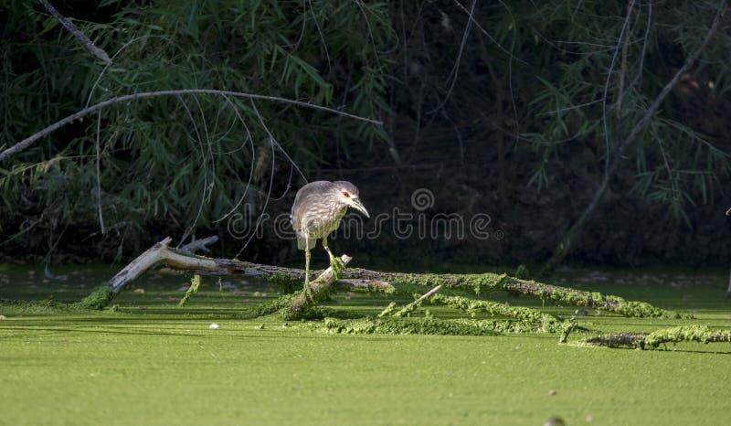 黑色被加冠的夜鹭属, Sweetwater沼泽地图森亚利桑那 免版税图库摄影