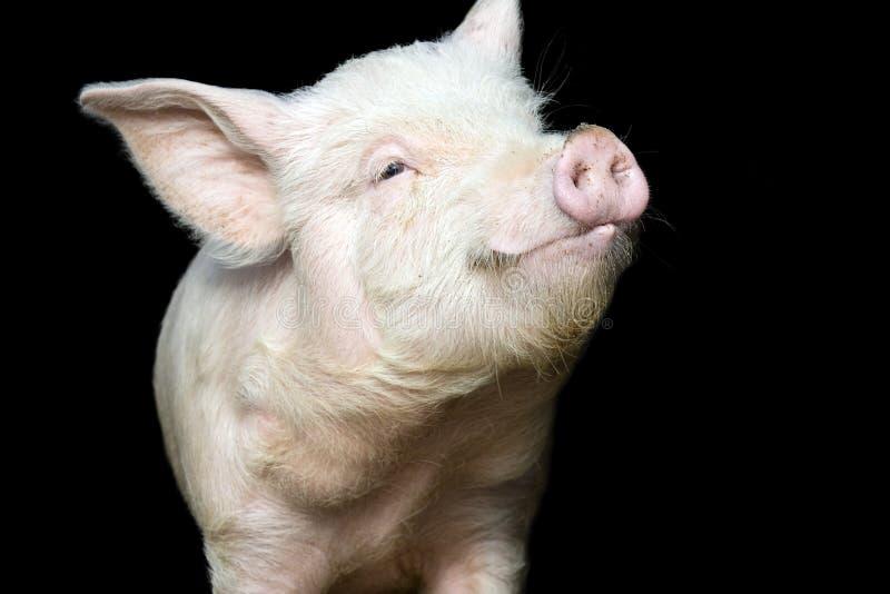 黑色逗人喜爱的愉快的查出的小的猪 免版税库存图片