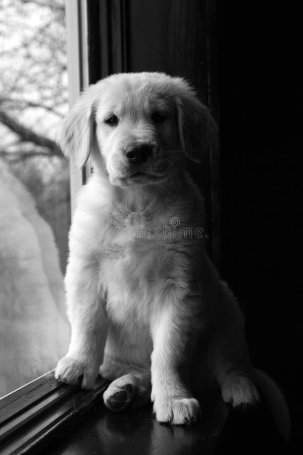 黑色金黄小狗猎犬白色 免版税库存图片