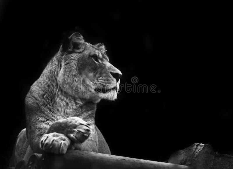 黑色雌狮松弛惊人白色 图库摄影