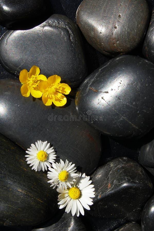 黑色雏菊开花石头 库存图片