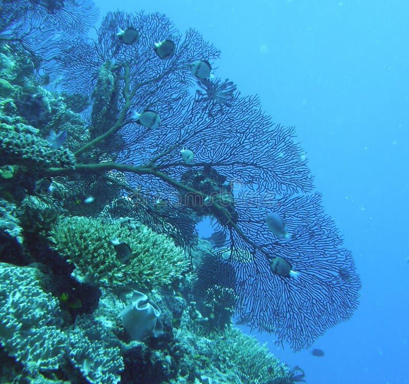 黑色风扇gorgonian海运 库存图片