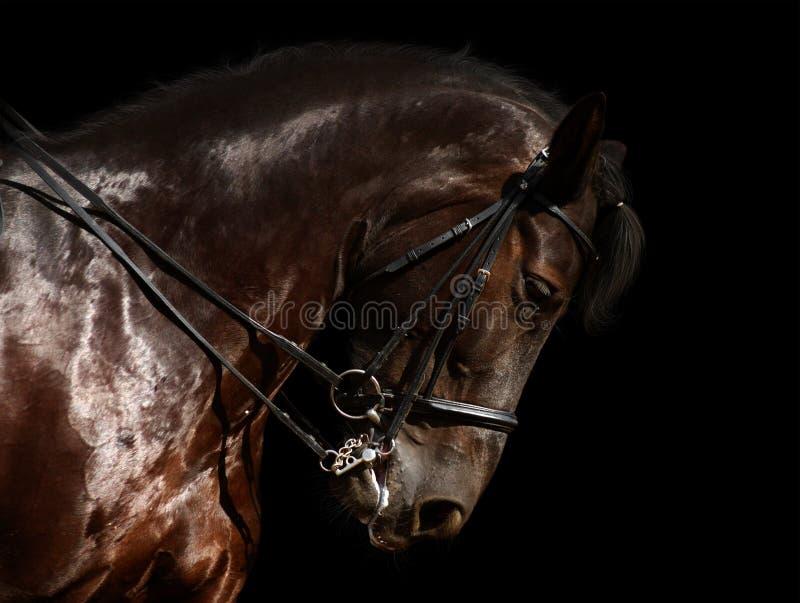 黑色驯马马 免版税库存照片