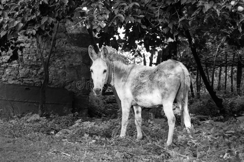 黑色驴白色 免版税库存照片