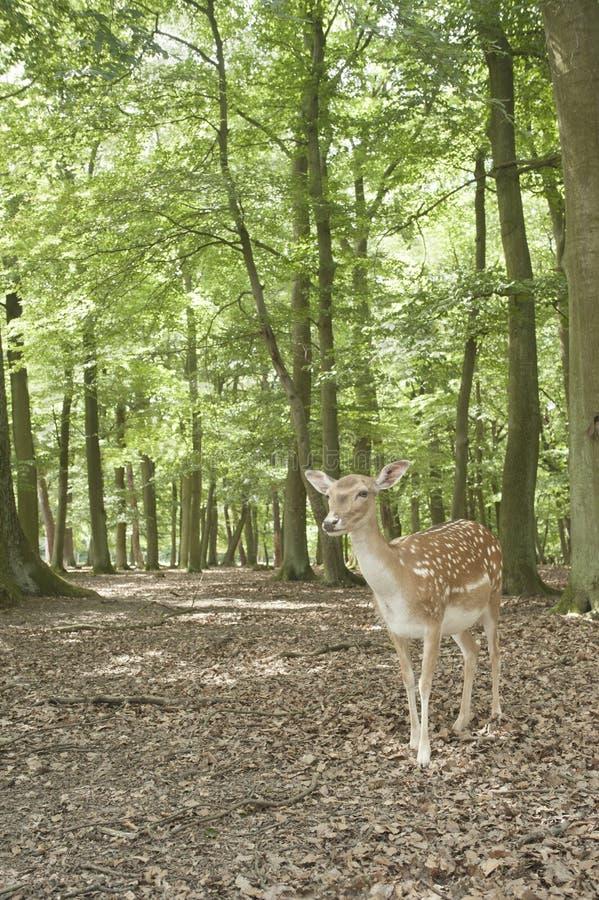 黑色鹿休耕森林通配的德国 库存图片