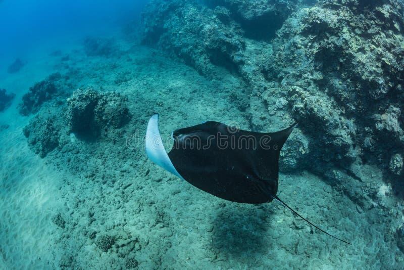 黑色mantaray在大海 库存图片