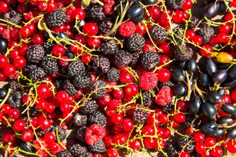 黑莓、莓、红浆果和黑醋栗新鲜的莓果  库存图片