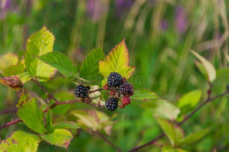黑莓和叶子 库存图片