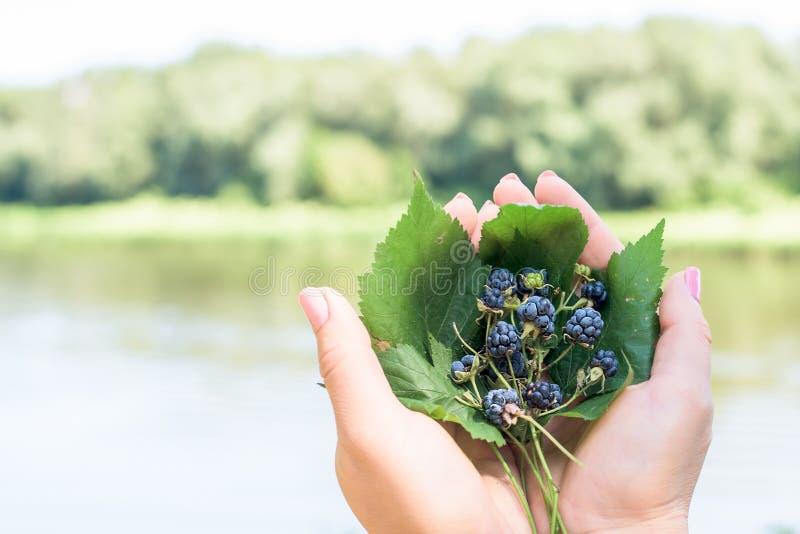 黑莓花束在词根的在叶子在妇女的手上说谎 在河的背景 库存照片