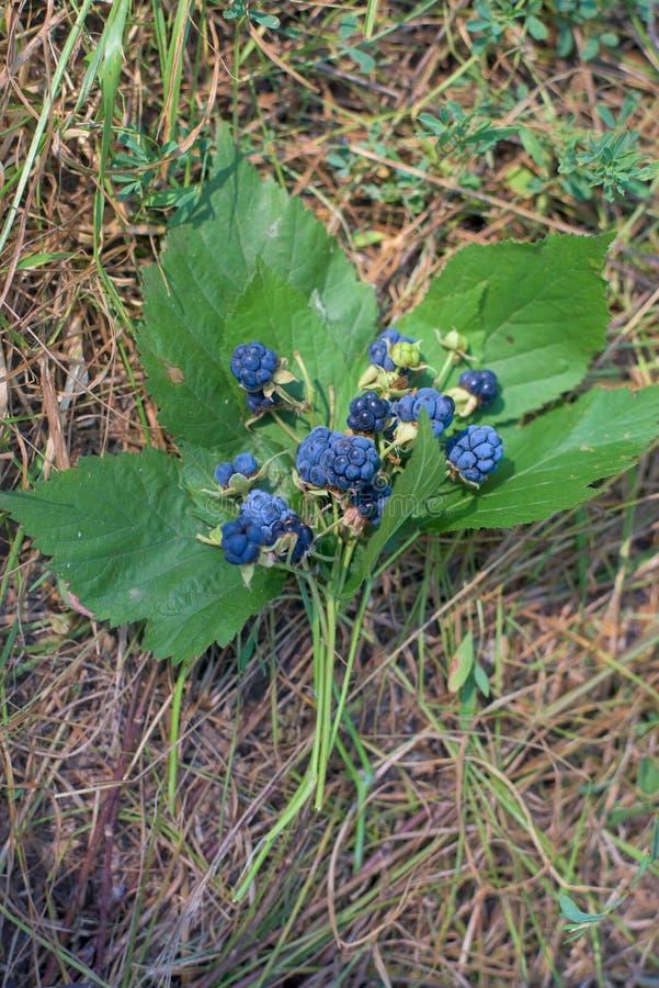 黑莓花束在说谎在草的叶子的词根的 库存照片