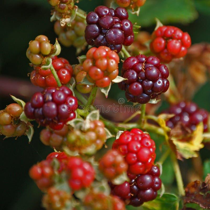 黑莓采摘 免版税库存图片