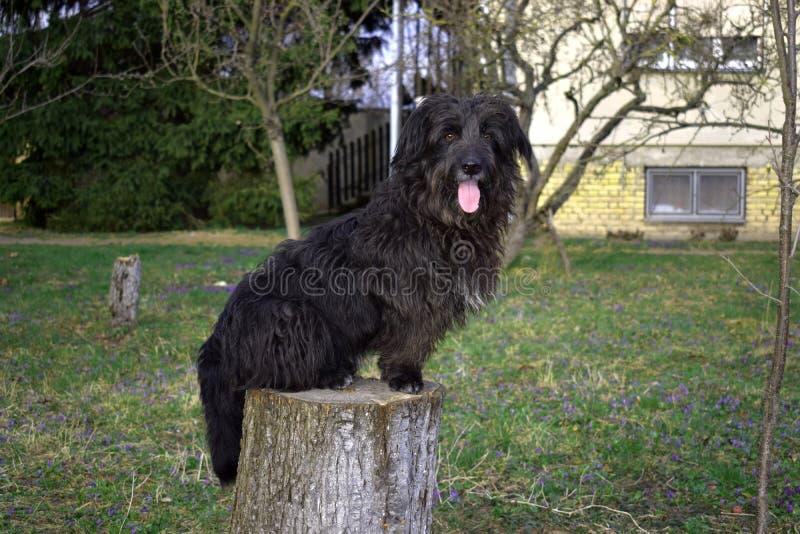 黑蓬松狗坐树桩 库存图片