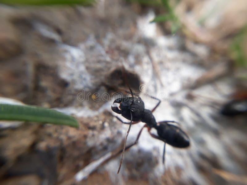 黑蚂蚁下颌特写镜头 免版税库存图片