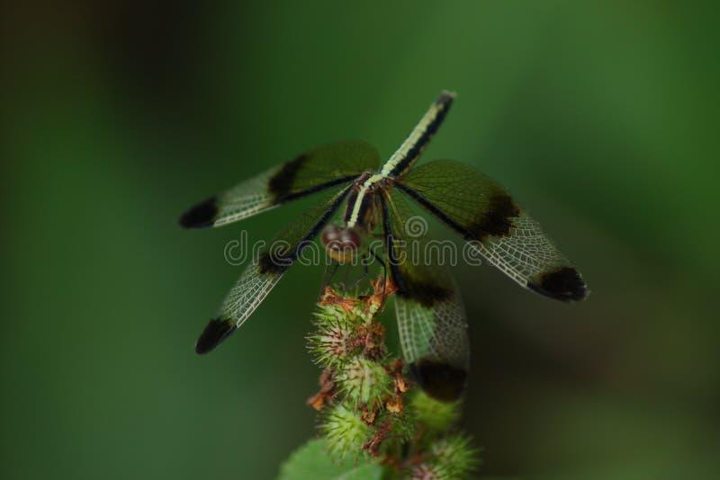 黑蜻蜓墙纸 库存图片