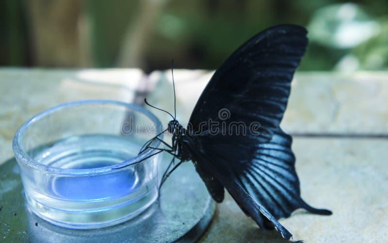黑蝴蝶用蓝色条纹饮料花蜜 库存图片
