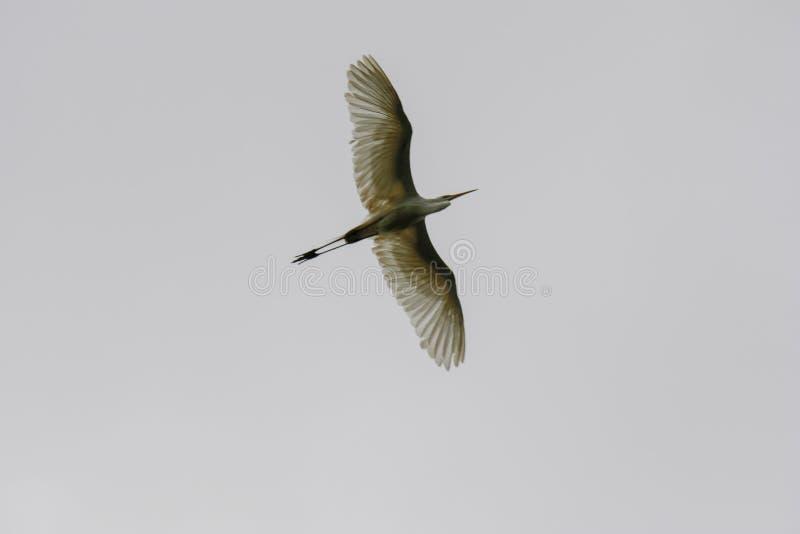 黑被加冠的夜鹭属在飞行中在一灰色多云天空Nycticorax nycticorax下 库存图片
