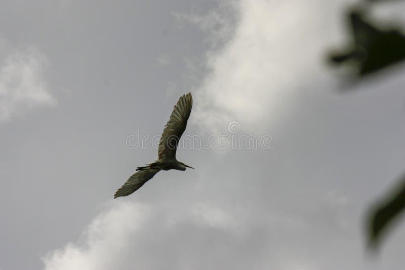 黑被加冠的夜鹭属在飞行中在一灰色多云天空Nycticorax nycticorax下 免版税库存照片