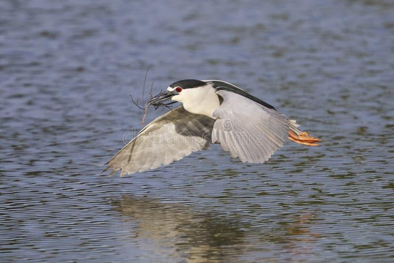 黑被加冠的夜鹭属在飞行中在池塘-威尼斯,小花 免版税库存照片