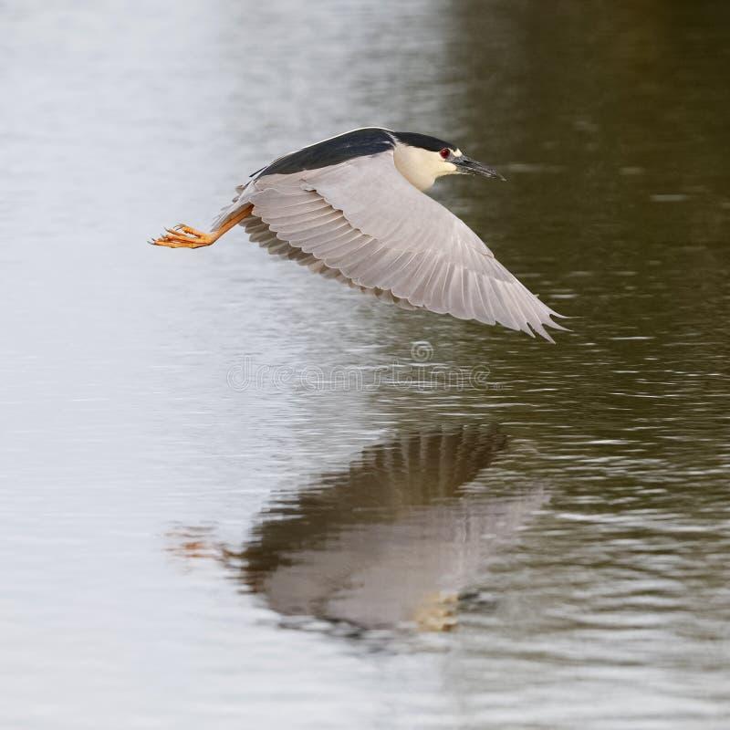黑被加冠的夜鹭属在飞行中在池塘-威尼斯,小花 免版税图库摄影